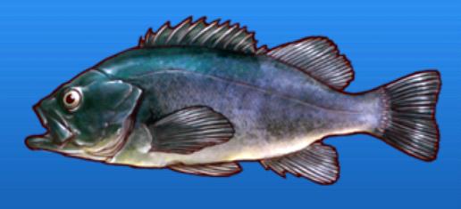 File:Black sea bass.png