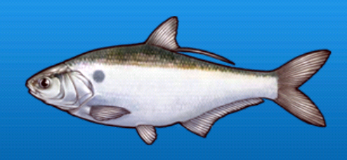 File:Gizzard shad.png