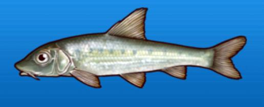 File:Cornet fish.png