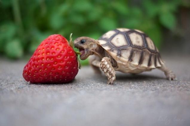 File:Baby-turtle-eats-strawberry.jpg