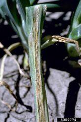Onion Xanthomonas leaf blight of onion Xanthomonas axonopodis pv. allii