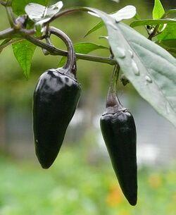 Chilli Czechoslovakian black