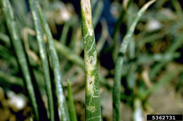 File:Onion Leaf Miner.jpg