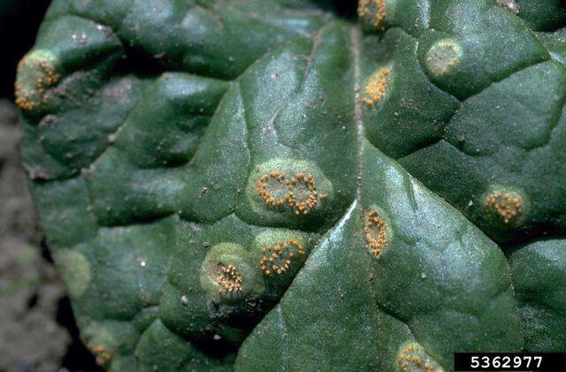 File:Perpetual Spinach Rust.jpg