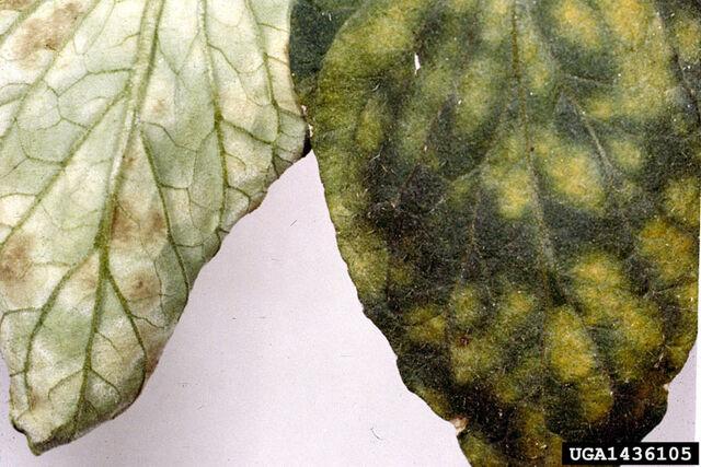 File:Tomato Leaf Mould 2.jpg
