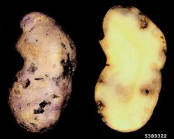 Potato rot nematode Ditylenchus destructor