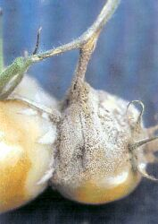 Tomato Grey Mould Botrytis