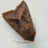 Rosy Rustic Moth