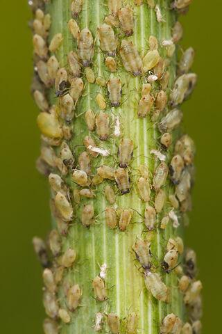 File:Aphids feeding on fennel.jpg