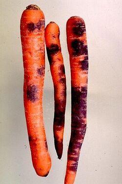 Carrot Black Root Rot