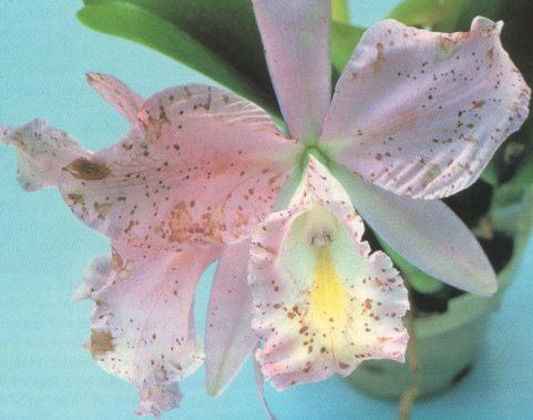 File:Petal blight botrytis.jpg