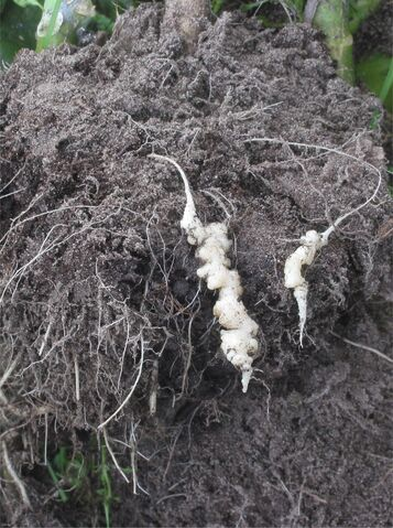 File:Cauliflower Club Root.jpg