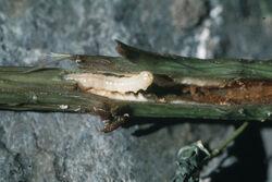 Raspberry Raspberry horntail Hartigia cressonii Stem