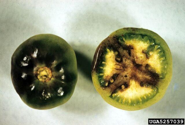 File:Tomato Late Blight Fruit.jpg