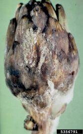 Globe artichoke Grey mould Botrytis cinerea