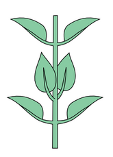 Leaf morphology Opposite decussate