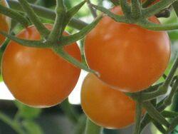 Tomato Golden gem