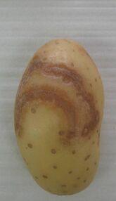 Potato Necrotic Ringspot