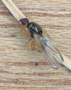 Carrot fly Chamaepsila rosae
