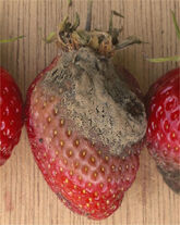 Strawberry Botrytis Cinerea