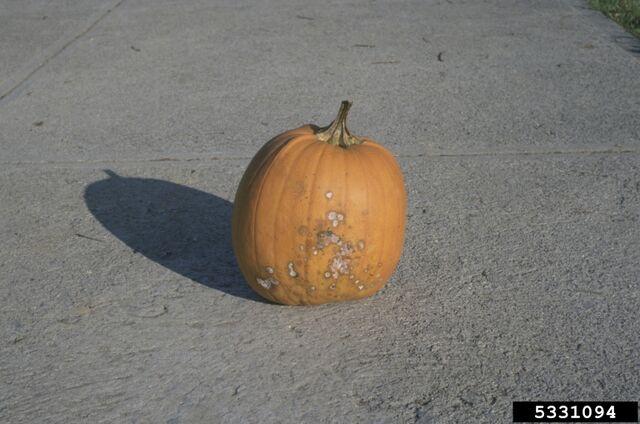 File:Pumpkin Fusarium Damping Off.jpg