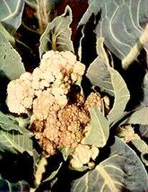 Cauliflower Boron deficiency