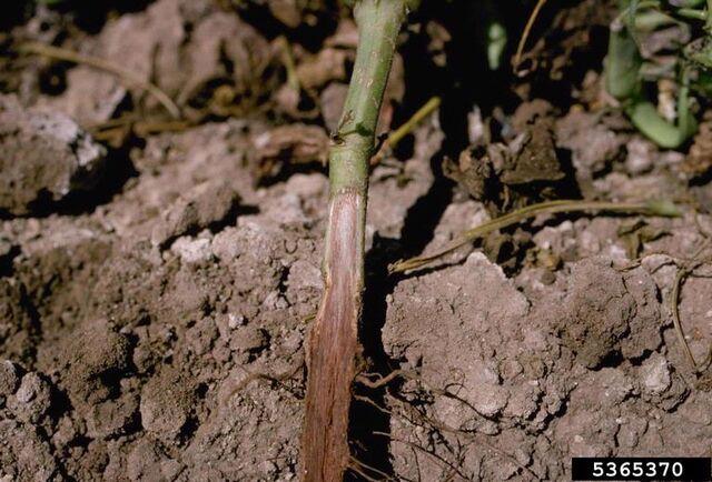 File:Bean Fusarium Wilt.jpg