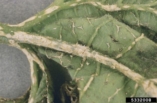 File:Pumpkin Plectosporium Blight Leaf.jpg
