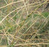 Asparagus Beetle Fern