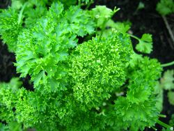 Parsley Curled leaf