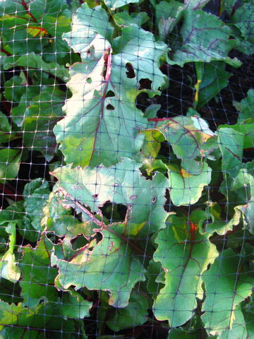 File:Beetroot Cabbage Moth Damage.jpg