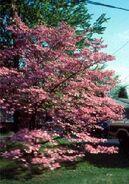 Floweringdogwood2