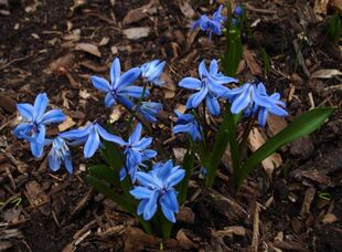 Scilla sibirica Group JAY