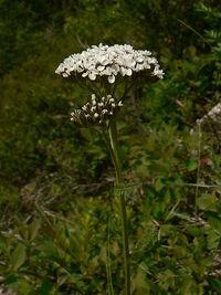 Achillea millefolium 15469