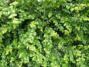 Buxus sempervirens foliage 1