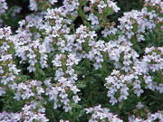 Thymus vulgaris0.jpg