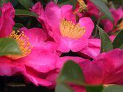 Camellia sasanqua1JAM343.jpg