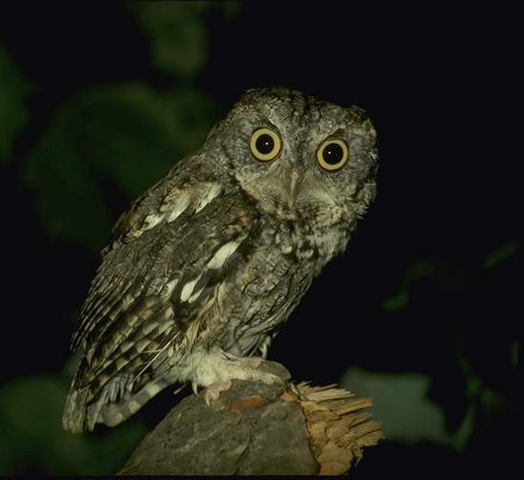 File:Owl5.png