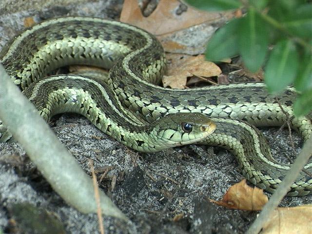 File:Garter-Snake.jpg