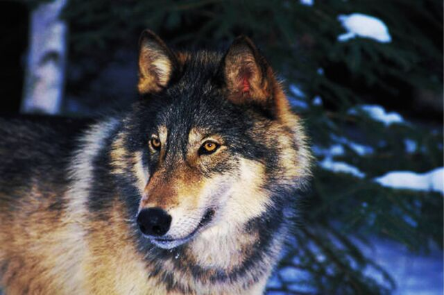 File:Sera wolf.jpg