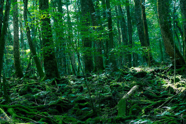 File:Aokigahara Forest.jpg