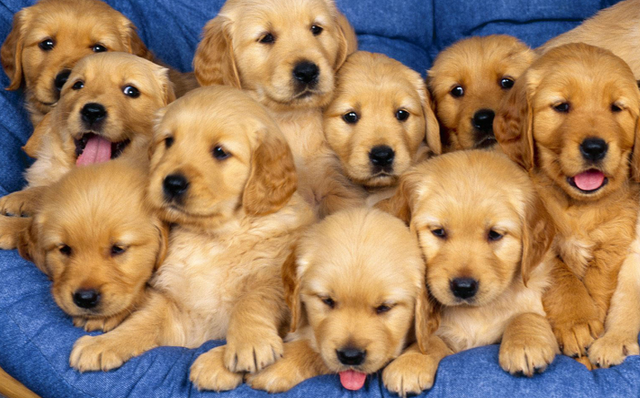 File:Golden retriever puppies.png