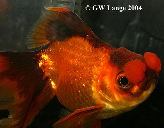 File:Pompom goldfish.jpg