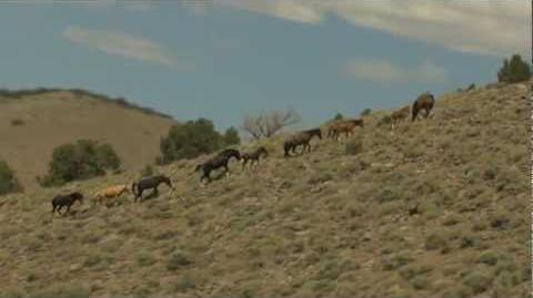 Wild Mustang Horses Running Free on a Mountainside Aerial Video View taken from a Helicopter Flyby