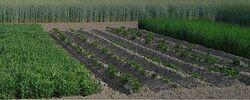 Algangi farm