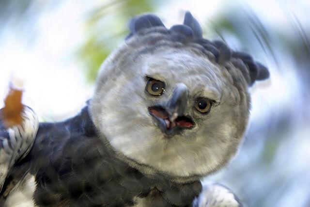 File:Harpy-eagle.jpg
