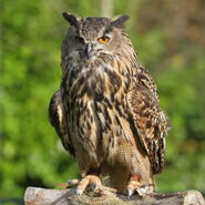 Eagleowl2