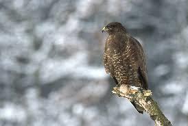 Buzzard Hawk