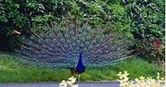 220px-Indian Peafowl