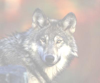 Graywolf239fd
